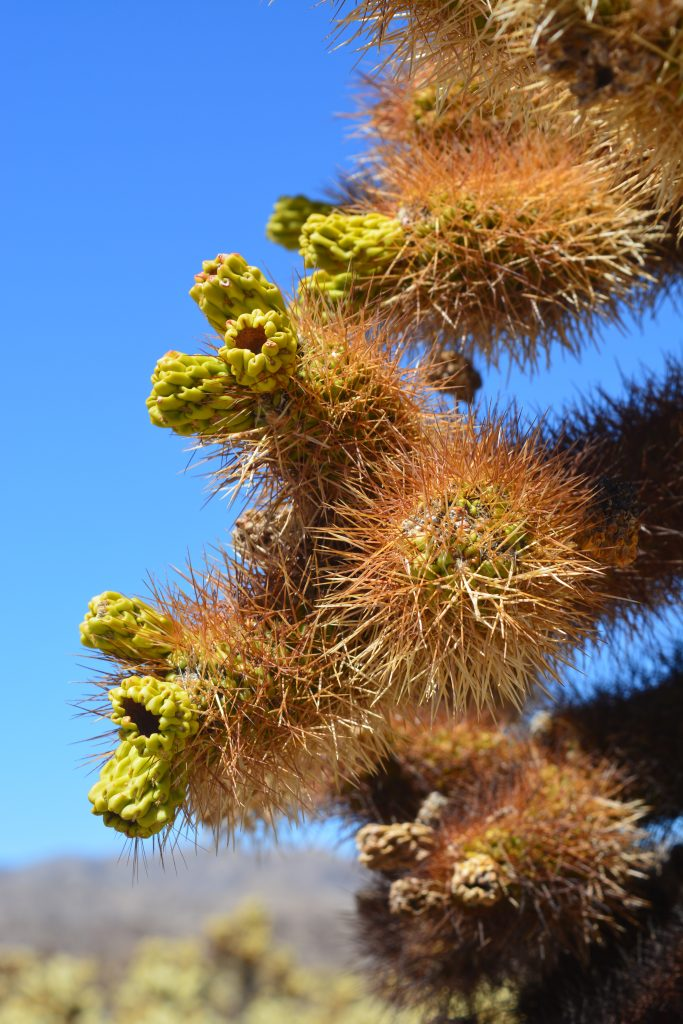 So beautiful - Cholla Cactus